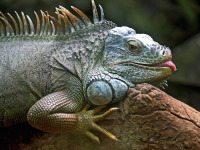 iguana 50198 1280