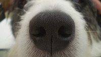 dog nose