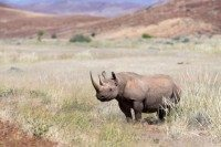 AMHRB31 D Desert adapted black rhino bull article detail