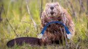 beaver internet canada